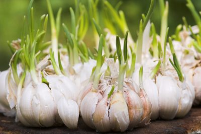 Garlic-sprouts1